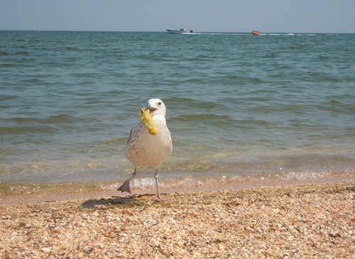 чайка с кочаном кукурузы