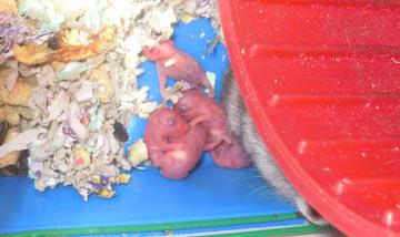 новорожденные джунгарики :)