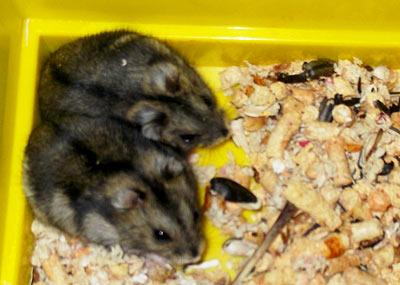 два новых хомячка - два джунгарика :)